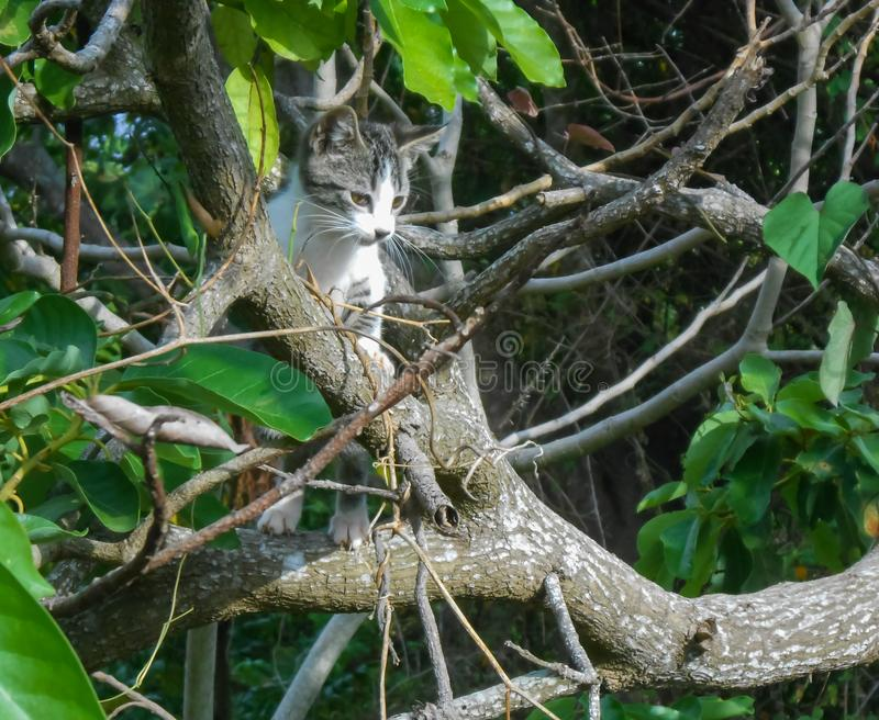 Cat Looks Down From Tree. Grey black and white, cat in green and grey avocado tree among fresh and dry branches, having two back legs on lower branch and front royalty free stock images