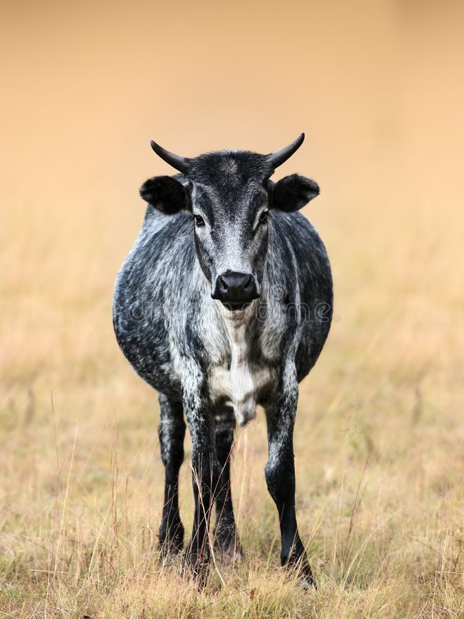 Nguni breed cow staring at the viewer stock image