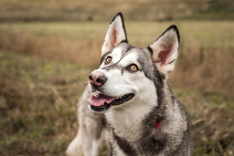 Grey, black, and white Husky dog with beautiful bright eyes, looking at the camera, photographed outdoors royalty free stock images