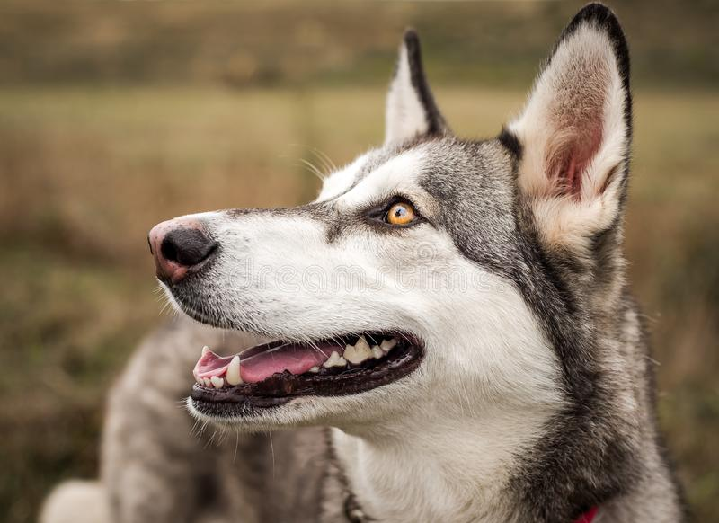 Grey, black, and white Husky dog with beautiful bright eyes photographed outdoors royalty free stock photography