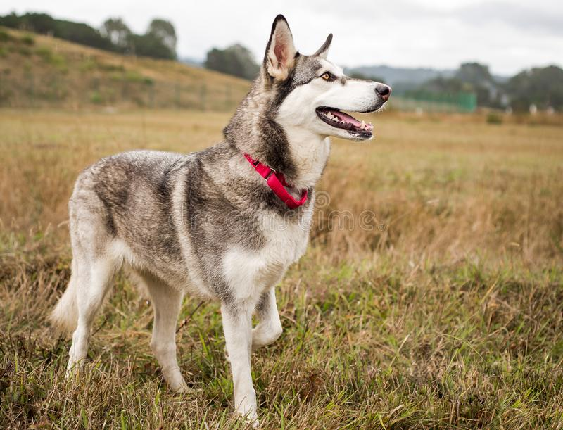 Grey, black, and white Husky dog photographed outdoors stock photos