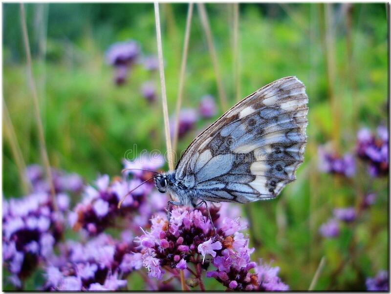 Grey and Blue Butterfly on Purple Flower during Daytime stock photography
