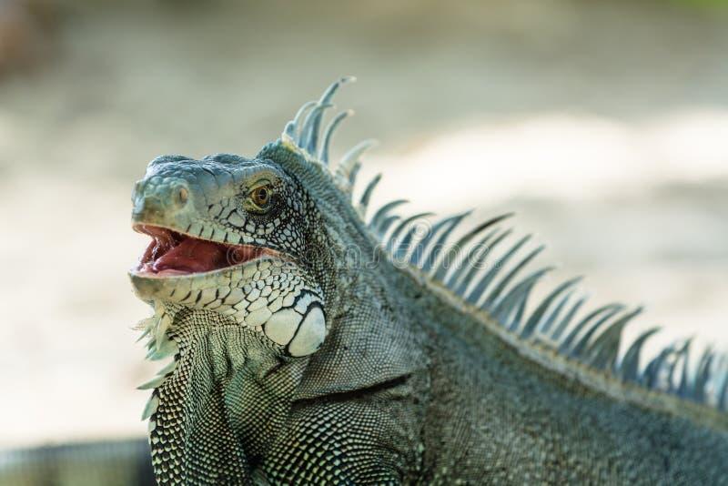 Grey blue iguana. Endemic grey blue iguana with typical spines, Guadeloupe royalty free stock photos