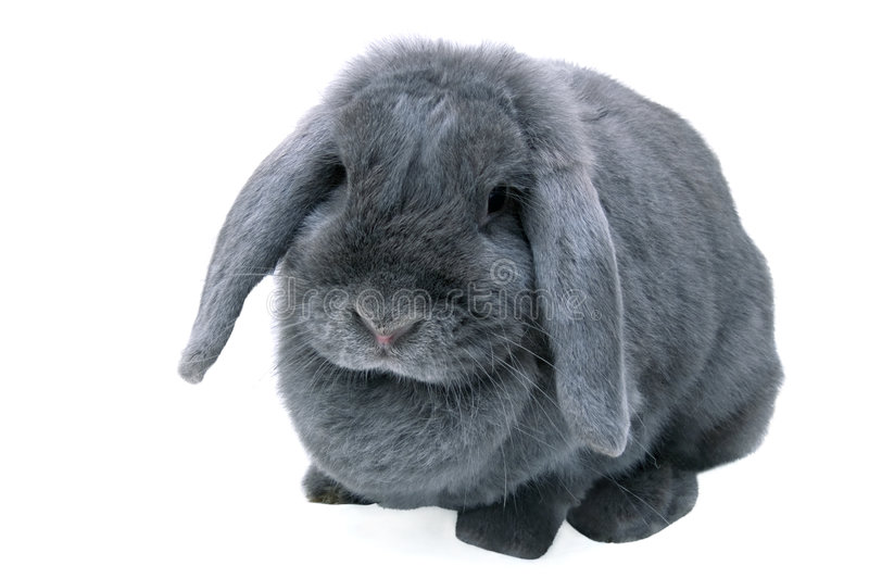 Grey (blue) lop rabbit. Isolated on white stock images