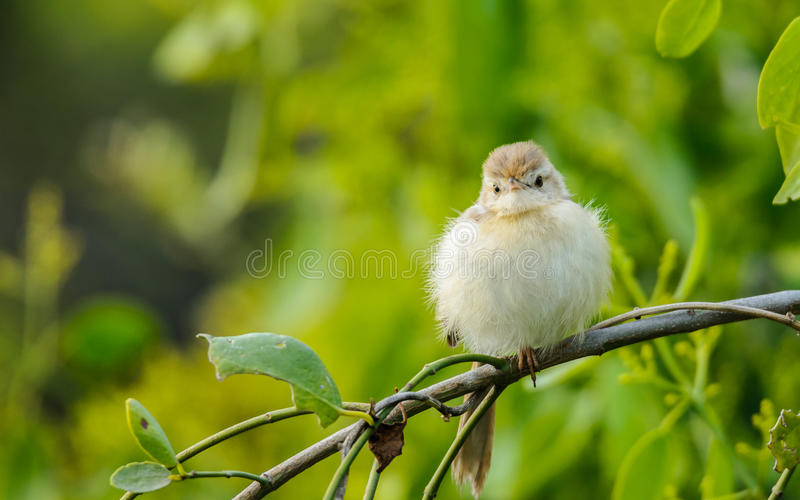 Small bird - Prinia royalty free stock images