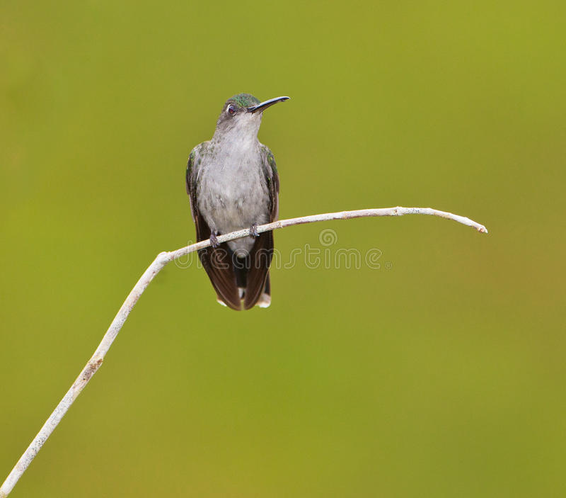 Download Grey-breasted Sabrewing stock image. Image of natural - 25992773