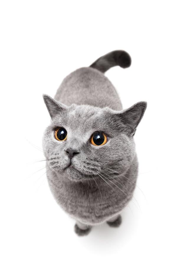 British shorthair cat on white background royalty free stock images