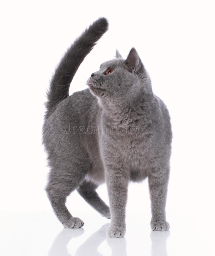 Grey british shorthair cat standing on white background stock images
