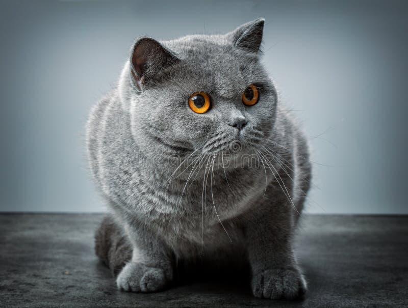 Grey British Shorthair-Katze lizenzfreie stockbilder
