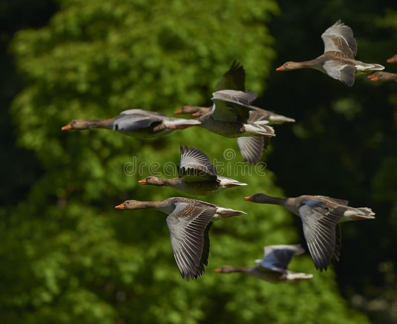 Grey Brown Bird Flying in una moltitudine fotografie stock libere da diritti