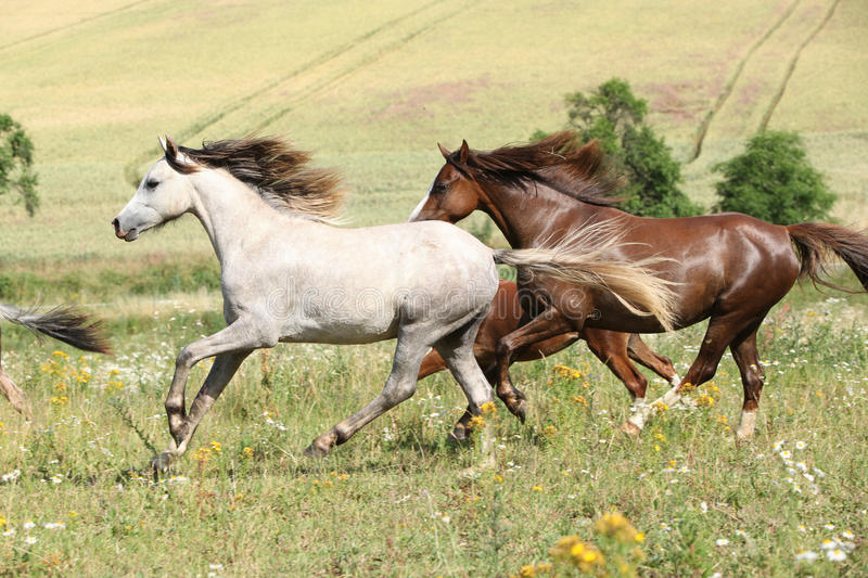 Grey and brown horses running on pasturage. Grey and brown horses running in flowers on pasturage stock image