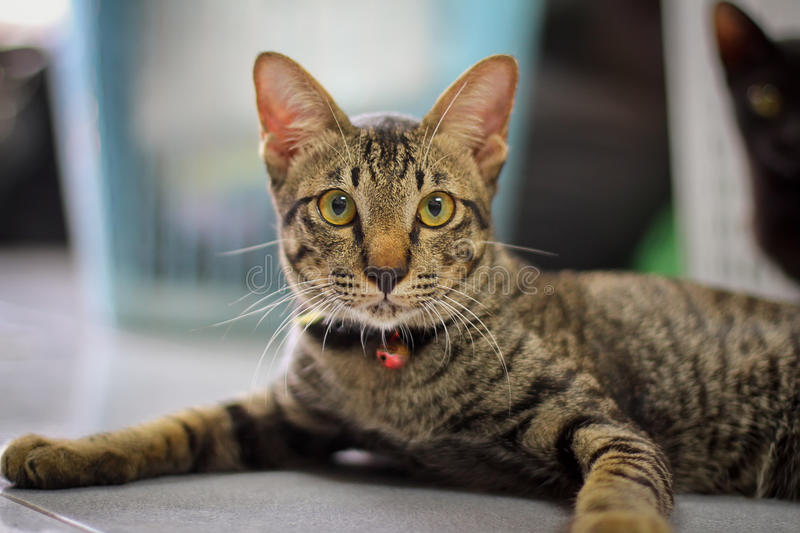 Grey Brown  Striped Cat Royalty Free Stock Image