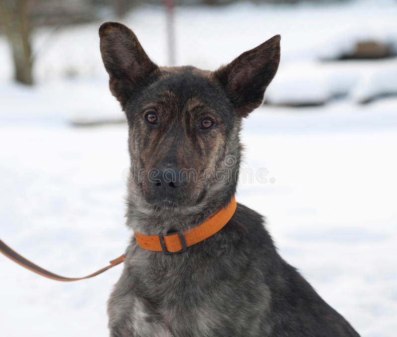 Grey and brown young mongrel dog on snow. Grey and brown young mongrel dog on white snow stock images