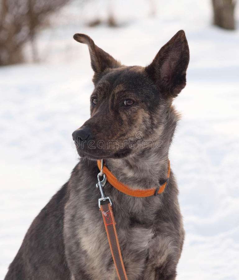 Grey and brown young mongrel dog on snow. Grey and brown young mongrel dog on white snow royalty free stock photos