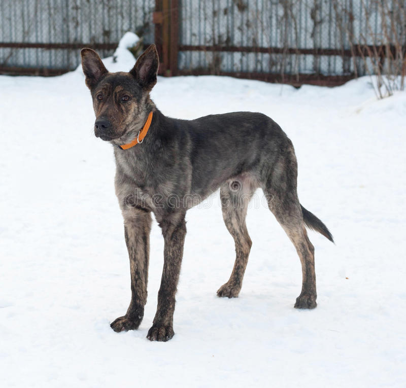 Grey and brown young mongrel dog standing on snow. Grey and brown young mongrel dog standing on white snow stock photo