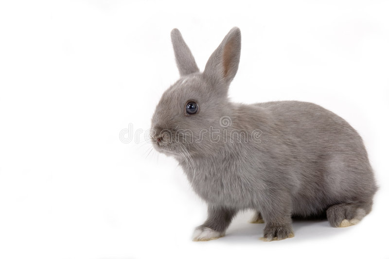 Grey bunny, isolated stock images
