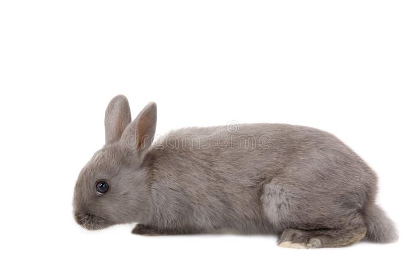 Grey bunny lying down stock photo
