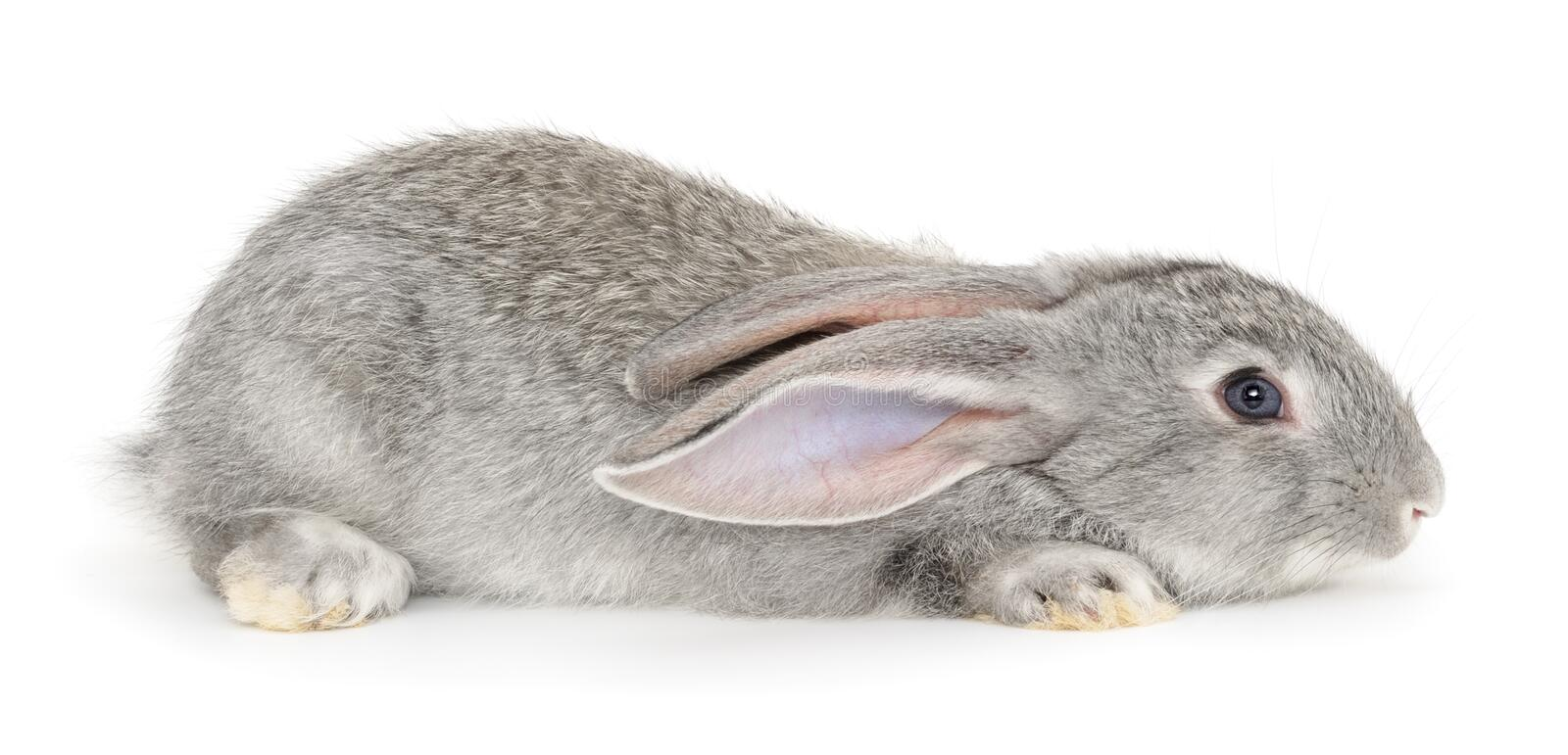 Grey bunny rabbit. Image of a grey bunny rabbit stock photos