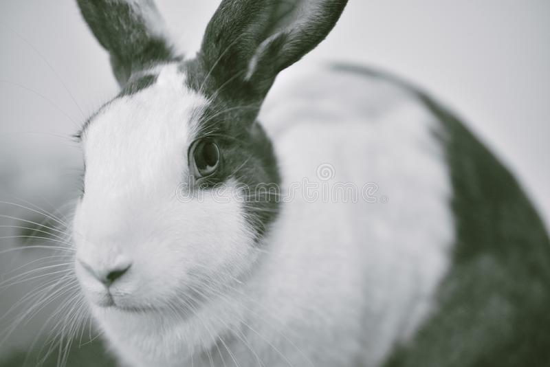 Grey bunny rabbit looking frontward to viewer, Little bunny sitting on white desk. stock photography