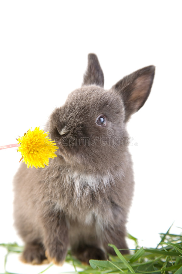 Download Grey Bunny Smelling A Flower Stock Photo - Image: 3317628