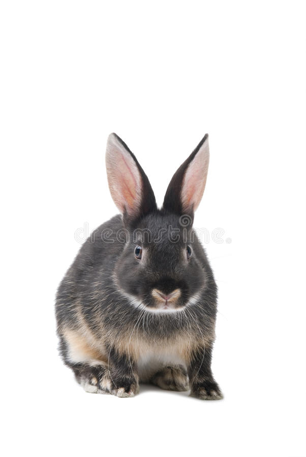 Grey bunny on a white background stock images