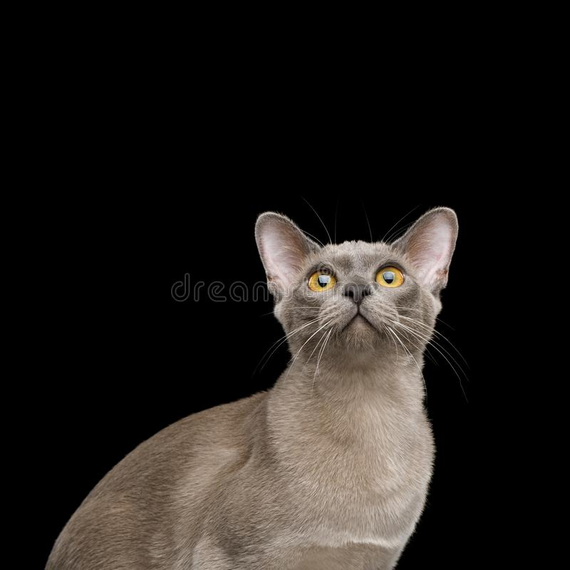 Grey burma cat isolated on black background. Portrait of Gray Cat Looking up, isolated on black background royalty free stock photography