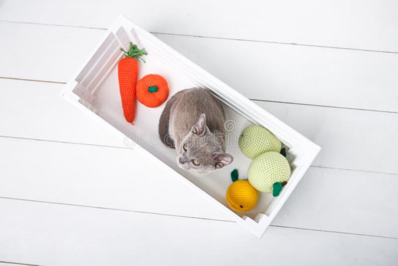 Grey Burmese-katjeszitting in een houten doos met gehaakt speelgoed De mening vanaf de bovenkant stock foto