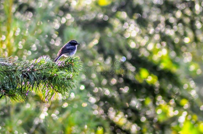 Grey Bush Chat - Vogel na Regen in een Bos royalty-vrije stock afbeeldingen