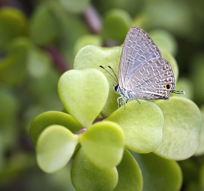 Grey Butterfly Lands On een Succulente Installatie stock foto