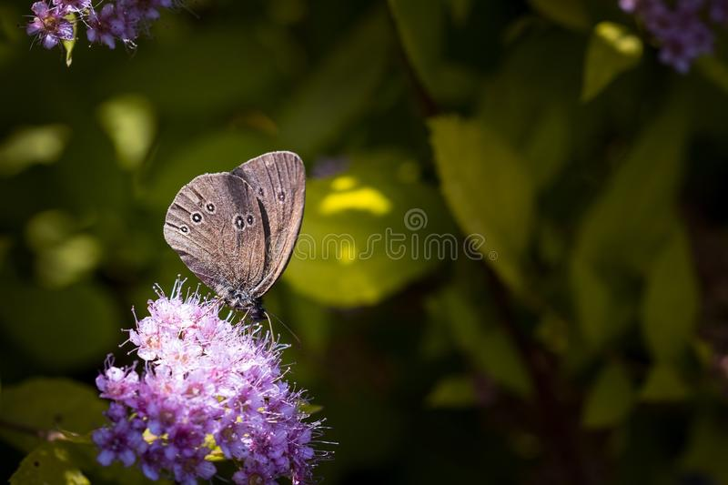 Grey Butterfly on Top of Purple Flower royalty free stock images