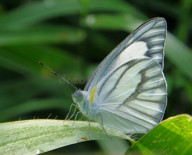 Grey butterfly royalty free stock images