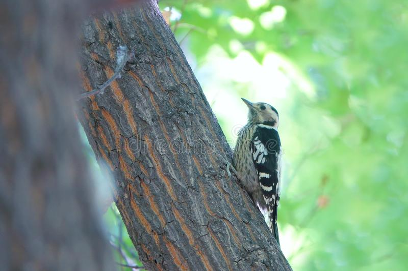 Grey-capped Pygmy Woodpecker. A Grey-capped Pygmy Woodpecker on tree trunk. Scientific name: Picoides canicapillus royalty free stock images