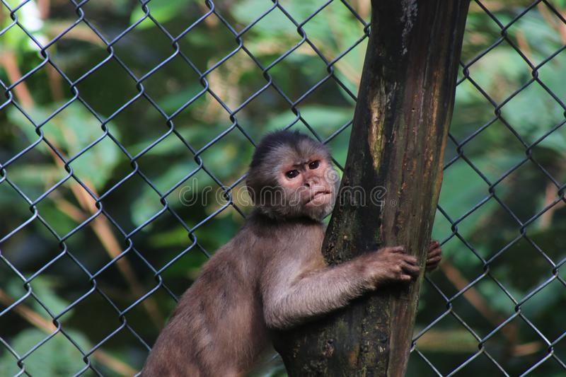 A grey capuchin monkey, cebus albifrons clenching a branch and gritting his teeth. Grey capuchin monkey, cebus albifrons clenching a branch and gritting his stock photos