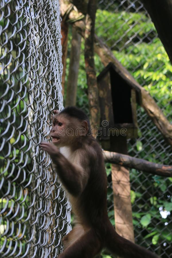 A grey capuchin monkey, cebus albifrons exitingly following something outside the cage royalty free stock image