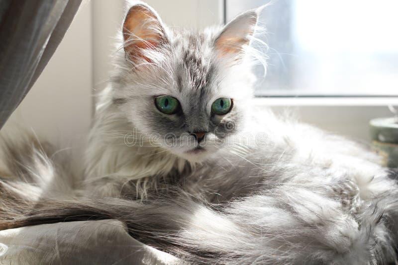 Download Grey cat stock photo. Image of look, snout, color, portrait - 21074696