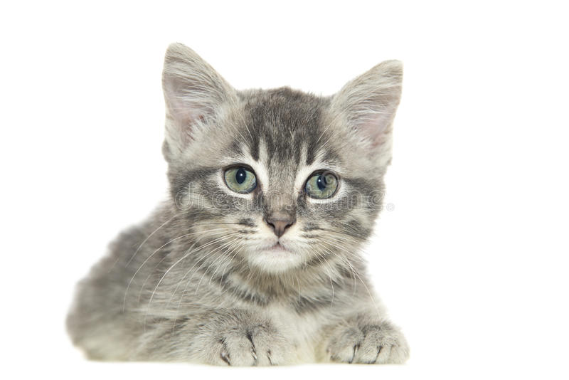 Grey cat. Young grey cat on white background