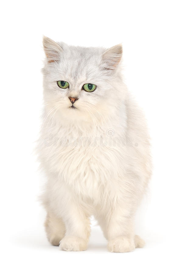 Download Grey  Cat Stock Photography - Image: 27374182