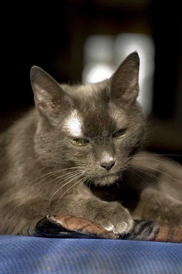 Download Grey cat stock photo. Image of feline, animal, serious - 5811962