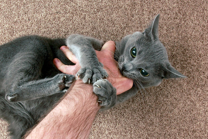 Grey cat aggressively biting the hand stock image
