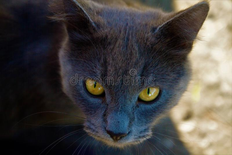 Grey cat with beautiful eyes royalty free stock photo