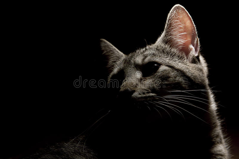 Grey cat on black stock photo