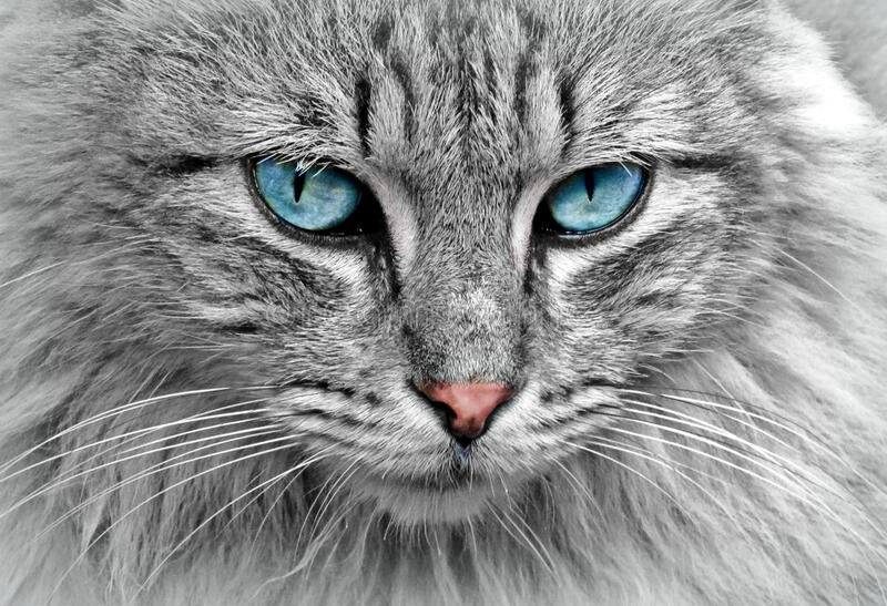 Grey cat with blue eyes royalty free stock photography