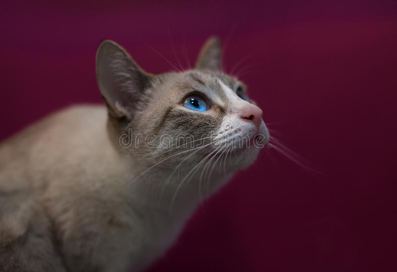 Grey cat with blue eyes royalty free stock photos