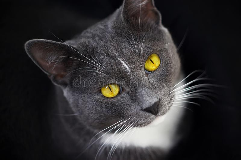 A grey cat with bright yellow eyes sits in the darkness stock photography
