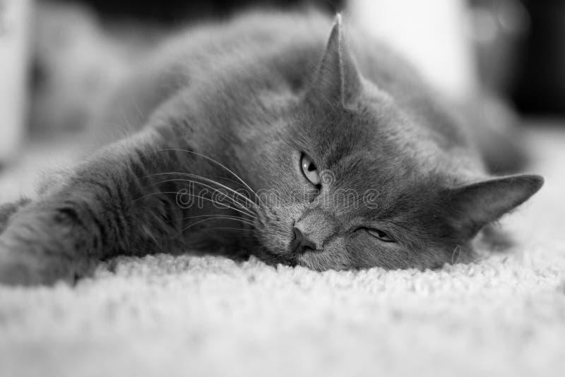 Grey cat on carpet. Grey cat (Nebulung) laying on carpet royalty free stock photos