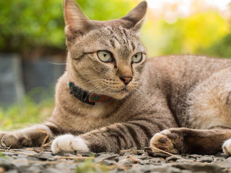 Grey Cat Crouching foto de archivo libre de regalías
