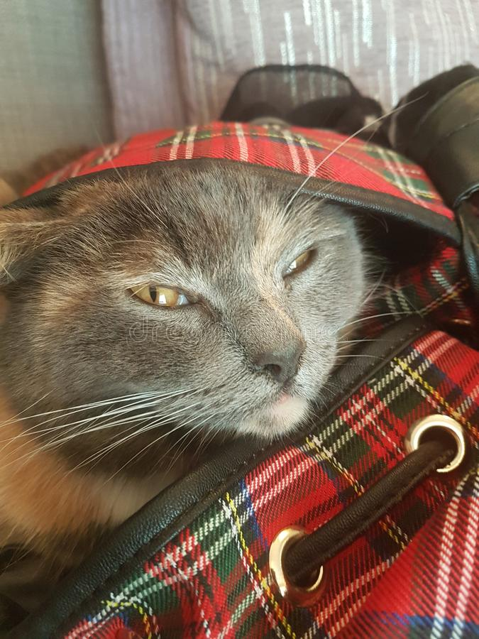 Grey Cat dans le sac photographie stock