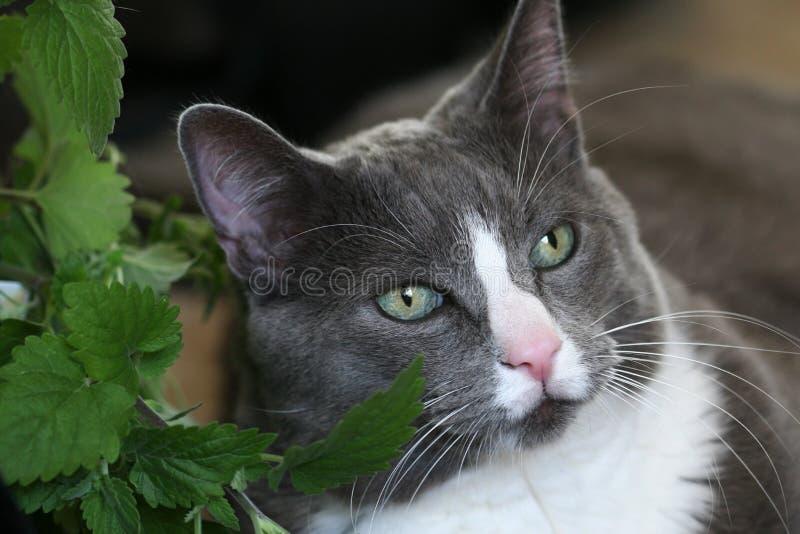 Grey Cat Green Eyes Royalty Free Stock Photography
