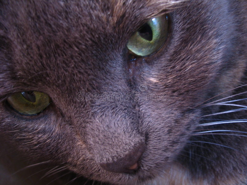 Download Grey Cat With Green Eyes Portratit Stock Photo - Image: 1210452