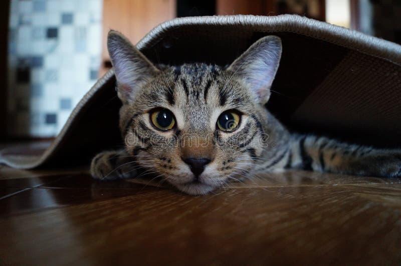 GREY CAT LOOKING CARPET stock photography